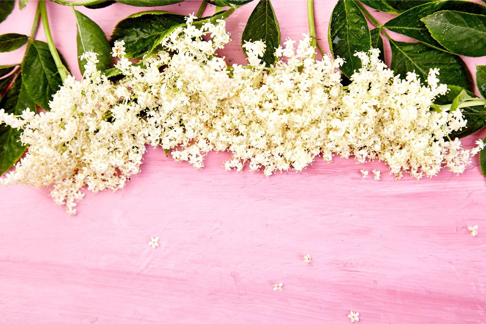 Holunderblüten vor rosa Hintergrund